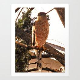 Al the Cooper's Hawk Art Print