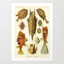 Vintage Print - Haeckel - Art Forms of Nature (1904): Ostraciontes / Boxfish Art Print