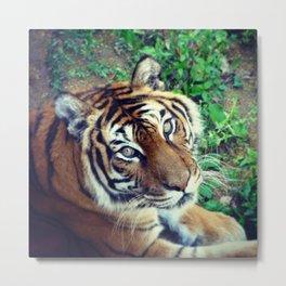Tendre Tigre Metal Print