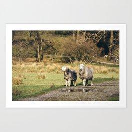 Herdwick sheep stood on footpath. Cumbria, UK. Art Print