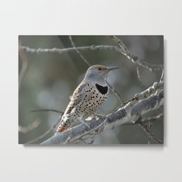 Red-shafted Northern Flicker Metal Print