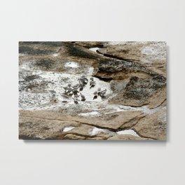 Sandpipers feeding in a tide pool Metal Print