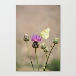 Clouded Yellow Butterfly Canvas Print