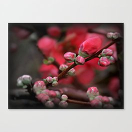 Japanese Red Quince Canvas Print