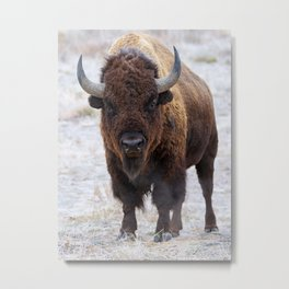 In The Presence Of Bison 2  Metal Print