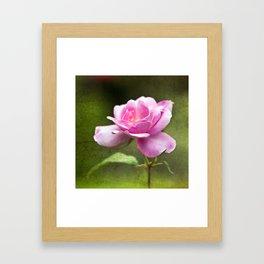 Last Summer Rose Framed Art Print