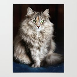 Siberian cat. Posing like a ballet dancer. Poster