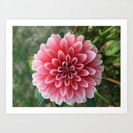 Dahila Flower Art Print