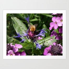 PURPLE POLLINATOR BEE ON CORNFLOWER Art Print