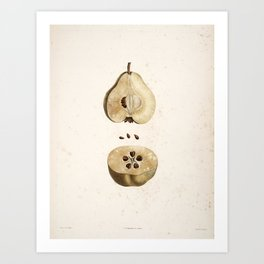 Pear Disection Botanical Illustration Art Print