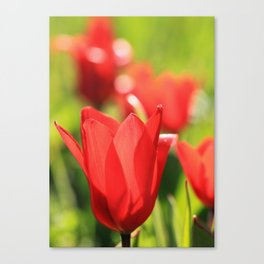 Red tulips in backlight 3 Canvas Print