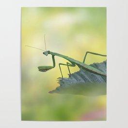 Female European Mantis or Praying Mantis, Mantis religiosa, on a leaf Poster