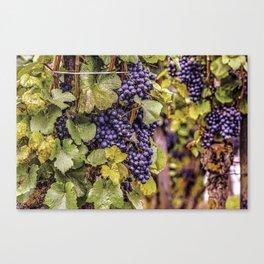 Newport Wine Vineyard and Grapes, Rhode Island Canvas Print