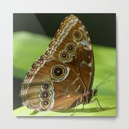 Beautiful Butterfly Wings of Meadow Brown Metal Print