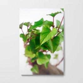 Sweet potato sprouts Metal Print