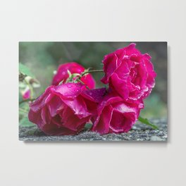 Lying roses covered by raindrops Metal Print