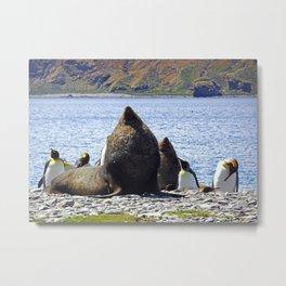 Fur Seal Resting Metal Print