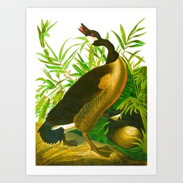 Canada Goose John James Audubon Vintage Scientific Birds of America Illustration Art Print