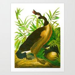 Canada Goose John James Audubon Vintage Scientific Birds of America Illustration Art Print