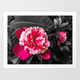 Paeony pink black and white Art Print