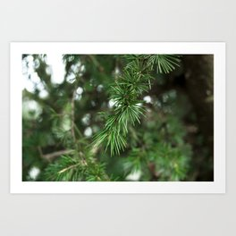 pine branch Art Print