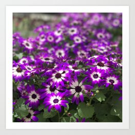 Cineraria Flower Art Print