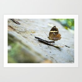 Butterfly at Poring Hot Springs Borneo Art Print