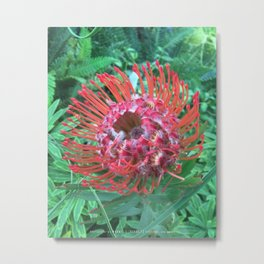 "Protea, ""Sugarbush"" Metal Print"
