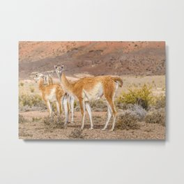 Group of Guanacos at Patagonia, Argentina Metal Print