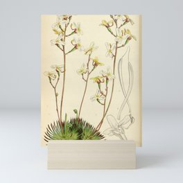 Flower 4529 stylidium saxifragoides Saxifrage like Stylidium1 Mini Art Print