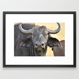 Cape Buffalo Framed Art Print