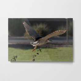 Black-Crowned Night Heron 4 Metal Print