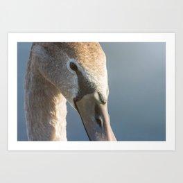 Juvenile brown swan portrait close up, Mute swan (Cygnus olor) Art Print