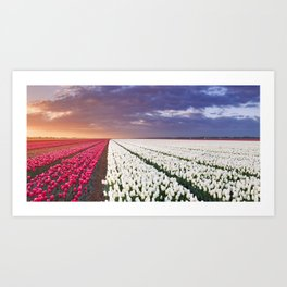 II - Rows of colourful tulips at sunrise in The Netherlands Art Print