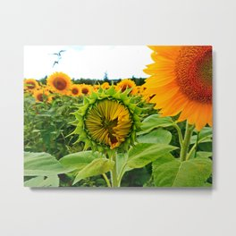 Sunflower Prepares to Unfold Itself Metal Print