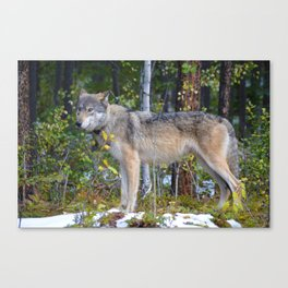 Wolf encounter in Jasper National Park Canvas Print