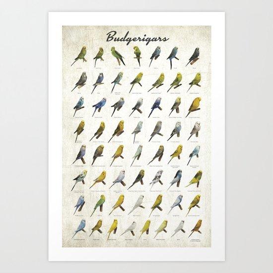 Budgerigar Colors Poster Art Print