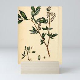 Western yellow Willow, salix lutea Redoute Roses 3 Mini Art Print