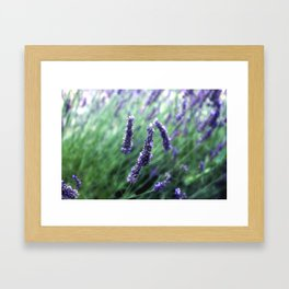 Lavande path Framed Art Print