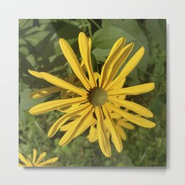 Green eyed Black Eyed Susan Metal Print