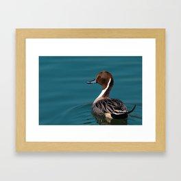 Bird - Northern Pintail Framed Art Print