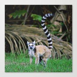Madagascar's Exotic Ringtail Lemur Canvas Print
