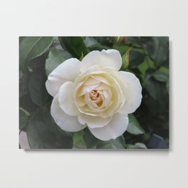 White Rose Beauty | Botanical | Plant Art Print | Romantic White Rose Print Metal Print