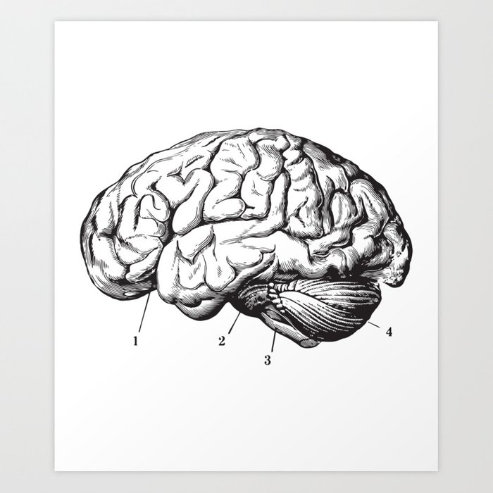 Human Brain Sideview Anatomy Detailed Illustration Art Print By