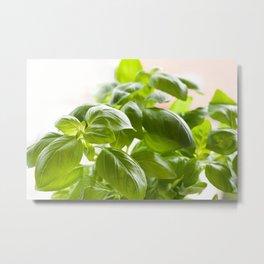 Ocimum basilicum green basil Metal Print