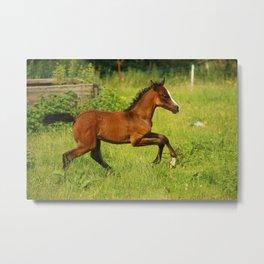Brown baby horse Metal Print