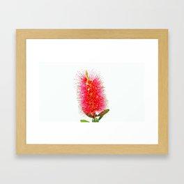 Australian Bottlebrush Framed Art Print