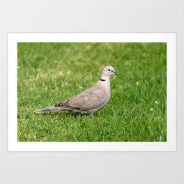 Grey Collared Dove Bird Art Print