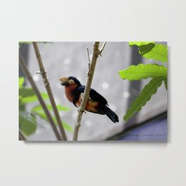 Colorful Aviary Bird Metal Print