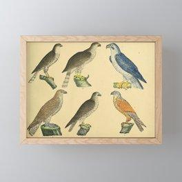026 falco nisus fringillarius falco palumbaris accipiter Lanner Falcon falco sacer falco communis Eurasian Kestrel10 Framed Mini Art Print
